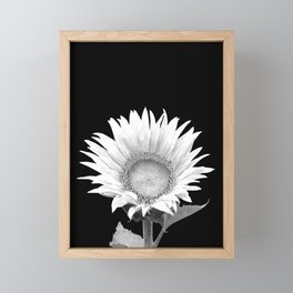 White Sunflower Black Background Framed Mini Art Print