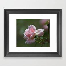 Pink Garden Rose Framed Art Print
