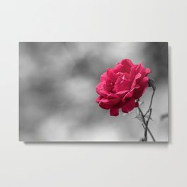 Red rose on monochromatic background Metal Print