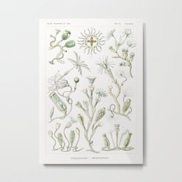Campanariae–Glockenpolnpen from Kunstformen der Natur (1904) by Ernst Haeckel. Metal Print